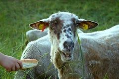 Pecore con il croissant Fotografie Stock