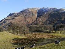 Pecore con il fondo della montagna nell'inverno Fotografia Stock
