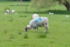 Pecore con il vello irsuto ed il numero blu 69 Fotografia Stock Libera da Diritti