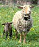 Pecore con l'agnello fotografia stock