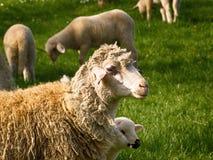 Pecore con l'agnello, che è nascosto dietro lei fotografia stock libera da diritti