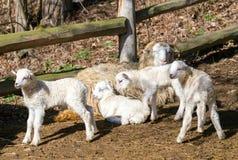 Pecore con l'agnello, simbolo di pasqua immagine stock libera da diritti