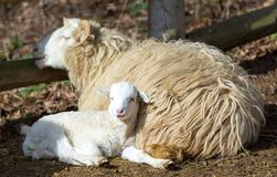 Pecore con l'agnello, simbolo di pasqua fotografia stock libera da diritti