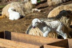 Pecore con l'agnello sull'azienda agricola rurale immagini stock