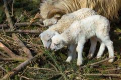 Pecore con l'agnello sull'azienda agricola rurale fotografia stock