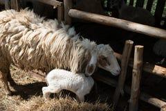 Pecore con la gabbia Fotografie Stock Libere da Diritti
