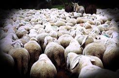 pecore con la pelliccia nella moltitudine con effetto antico di scenetta Immagine Stock