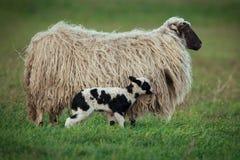 Pecore con la prole fotografie stock libere da diritti