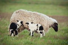 Pecore con la prole immagini stock libere da diritti