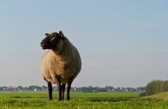 Pecore con testa nera che propongono nel sole di primo mattino Fotografia Stock Libera da Diritti