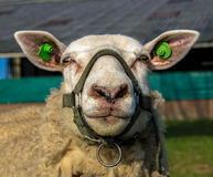 Pecore con un primo piano del freno Fotografie Stock Libere da Diritti