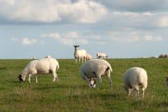 Pecore in Cornovaglia Fotografie Stock Libere da Diritti