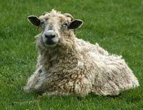 Pecore cornute Immagine Stock Libera da Diritti