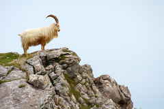 Pecore cornute che si levano in piedi su una sommità rocciosa fotografia stock libera da diritti