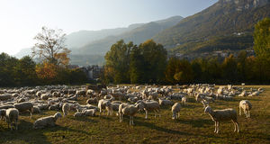 Pecore Royalty Free Stock Image