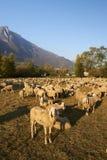 Pecore Stock Photos