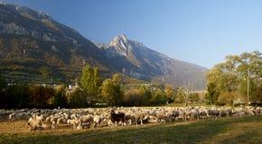 Pecore Royalty Free Stock Photography