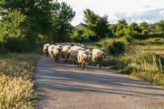 Pecore in Croazia Immagini Stock