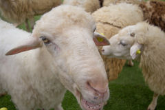 Pecore curiose Immagini Stock Libere da Diritti