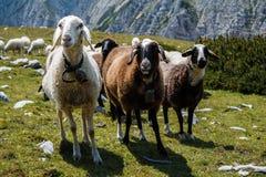 Pecore curiose immagini stock
