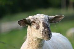 Pecore curiose fotografia stock