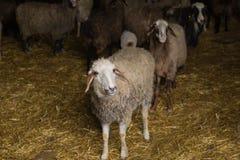 Pecore curiose all'azienda agricola Immagini Stock