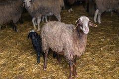 Pecore curiose all'azienda agricola Fotografia Stock
