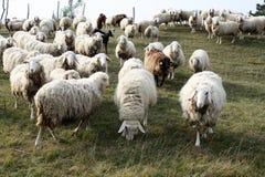 Pecore curiose su un pascolo della montagna Fotografia Stock Libera da Diritti