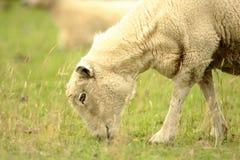 Pecore d'alimentazione fotografia stock