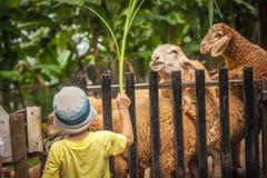 Pecore d'alimentazione dell'agricoltore del bambino in azienda agricola Immagine Stock