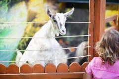 Pecore d'alimentazione della bambina all'azienda agricola Immagine Stock