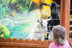 Pecore d'alimentazione della bambina all'azienda agricola Immagini Stock Libere da Diritti