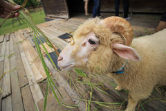 Pecore d'alimentazione nell'azienda agricola fotografia stock