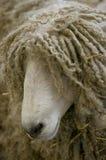 Pecore dai capelli lunghi Immagini Stock