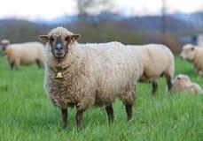 Pecore dai capelli lunghi con il segnalatore acustico Fotografia Stock Libera da Diritti