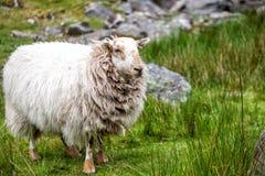 Pecore dai capelli lunghi sul prato verde Fotografia Stock