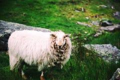 Pecore dai capelli lunghi sul prato verde Immagini Stock