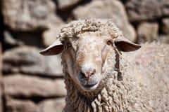 Pecore davanti ad un fondo della parete di pietra Immagine Stock