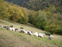 Pecore dei Carpathians ucraini Pecore che pascono alle montagne Immagini Stock Libere da Diritti