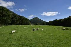 Pecore dei paesaggi Immagini Stock Libere da Diritti