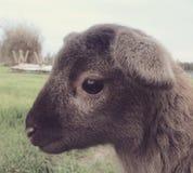 Pecore del bambino Fotografie Stock