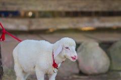 Pecore del bambino Fotografia Stock