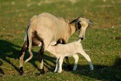 Pecore del bambino Immagine Stock Libera da Diritti