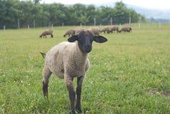 Pecore del bambino della Suffolk Fotografia Stock Libera da Diritti