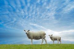 Pecore del bambino e della madre Fotografia Stock Libera da Diritti