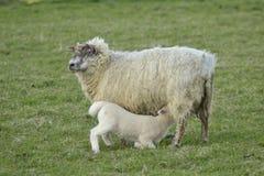 Pecore del bambino e della madre immagine stock libera da diritti