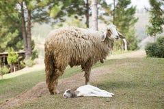 Pecore del bambino e pecore della madre Fotografie Stock Libere da Diritti