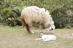 Pecore del bambino e pecore della madre Immagini Stock Libere da Diritti