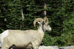 Pecore del Big Horn Immagini Stock Libere da Diritti