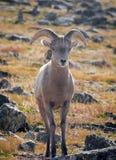Pecore del Big Horn Fotografie Stock